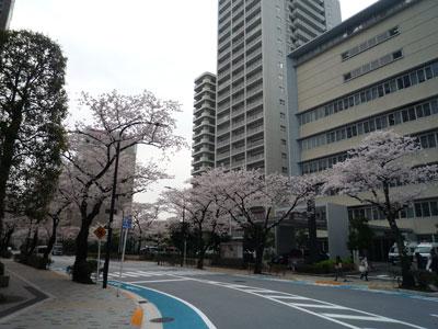 三田警察署の桜