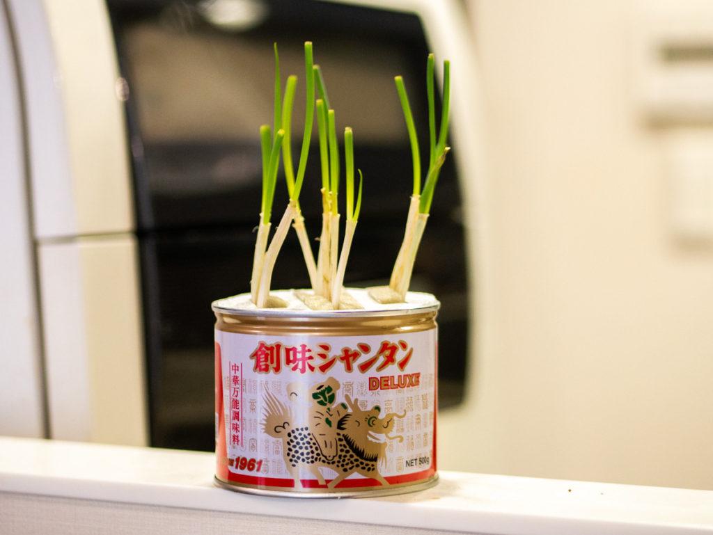 創味シャンタンの缶でネギを育てているところ